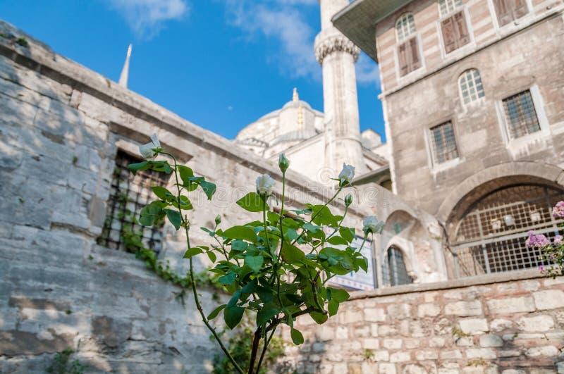 Weiße rosafarbene Anlage mit Sultan Ahmed Mosque-Markstein am Hintergrund stockfoto