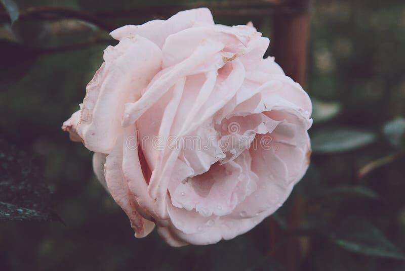 Weiße Rosarosenknospe mit Wassertropfen stockfotografie