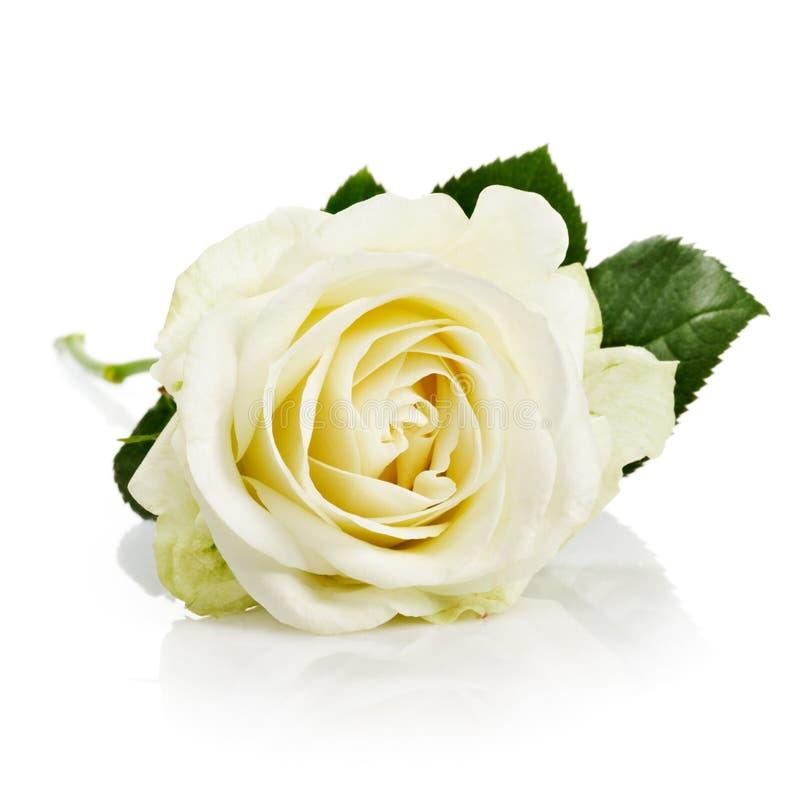 Weiße Rose mit Stamm lizenzfreies stockbild