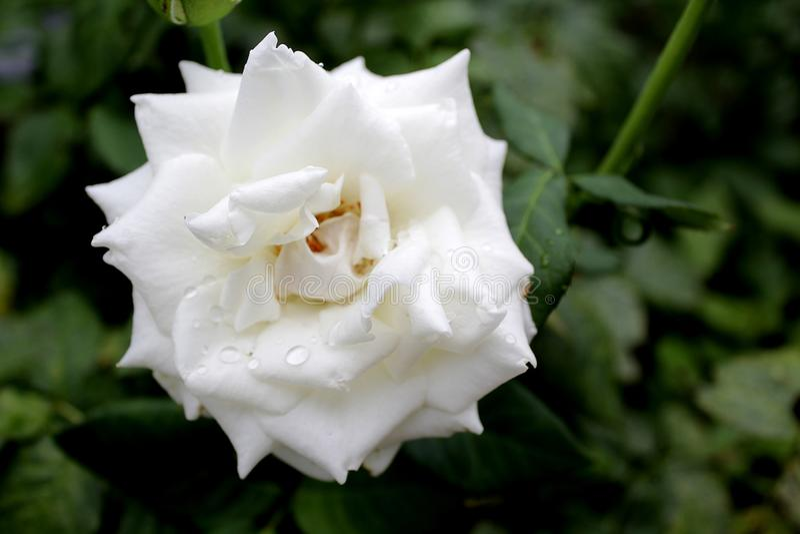 Weiße Rose, Nahaufnahme, mit Tropfen des Taus Auf einem nat?rlichen Hintergrund lizenzfreies stockbild