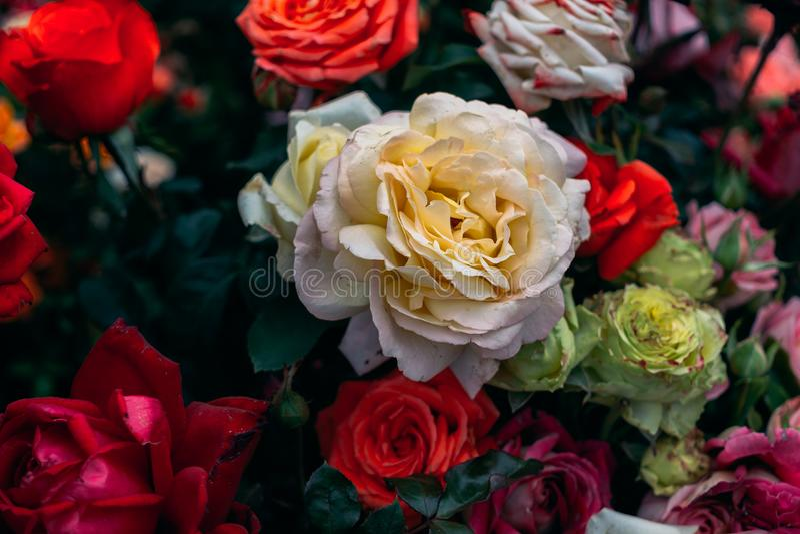 Weiße Rose unter anderen Rosen stockfoto