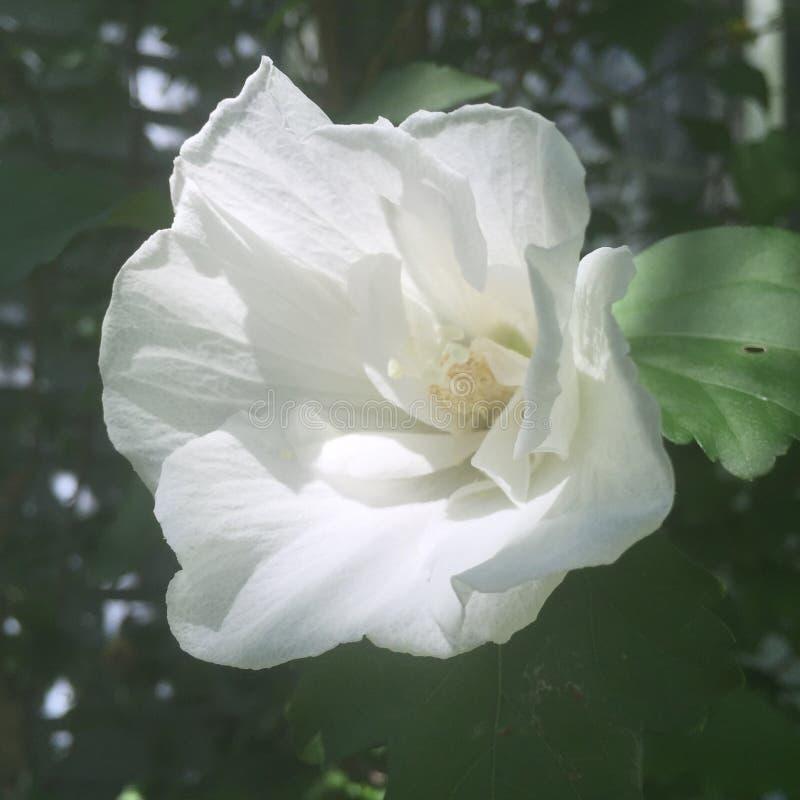 Weiße Rose von Sharon Blossom (Hibiscus syriacus) lizenzfreies stockbild