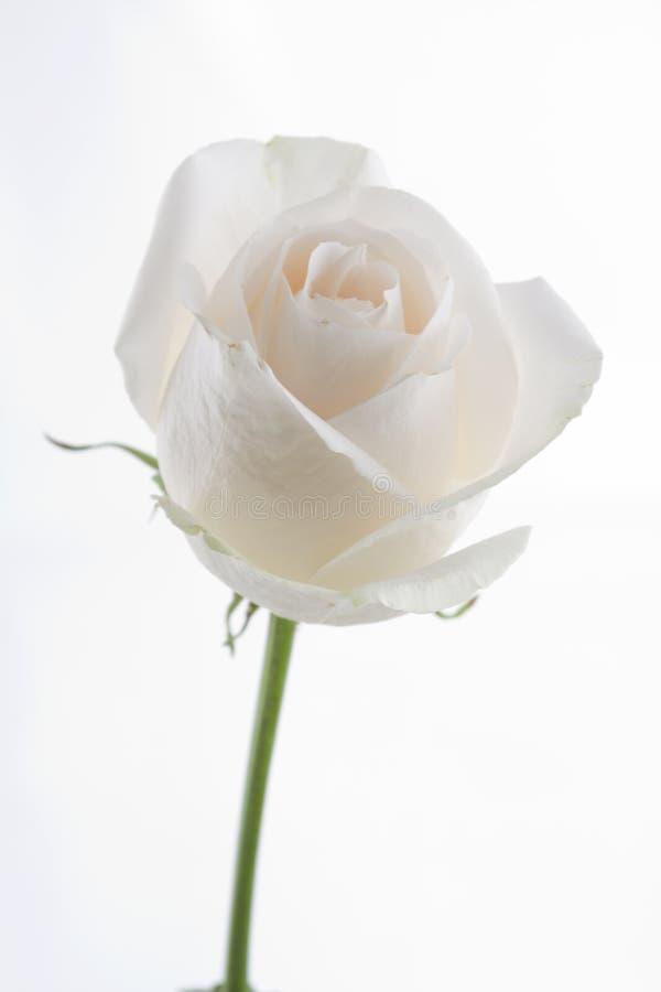Weiße Rosen-Blüte stockbild