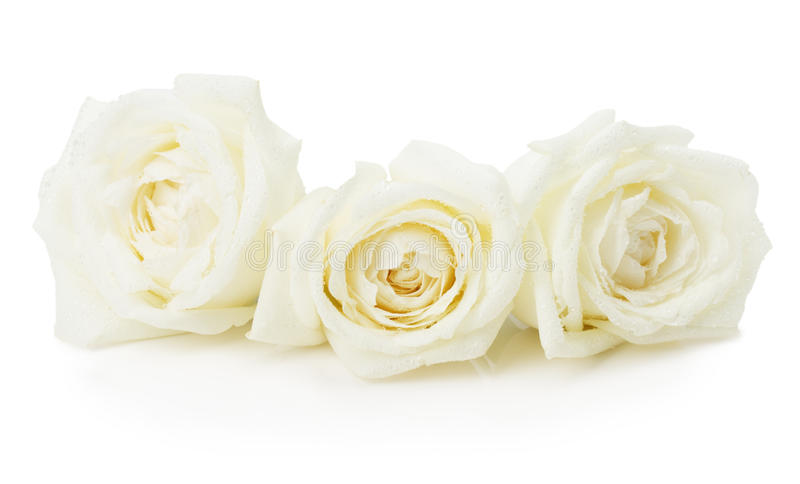 wei e rosen getrennt auf dem wei en hintergrund stockbild bild 54040535. Black Bedroom Furniture Sets. Home Design Ideas
