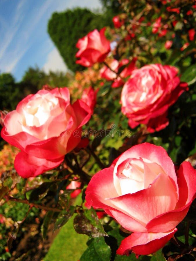 Weiße rote Rosen in einem Garten lizenzfreie stockfotografie