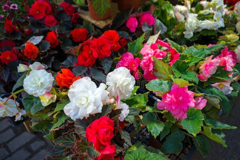 Wei?e, rote und rosa Begonienblumen in den T?pfen f?r Verkauf auf Gartenmarktanzeige lizenzfreie stockfotos