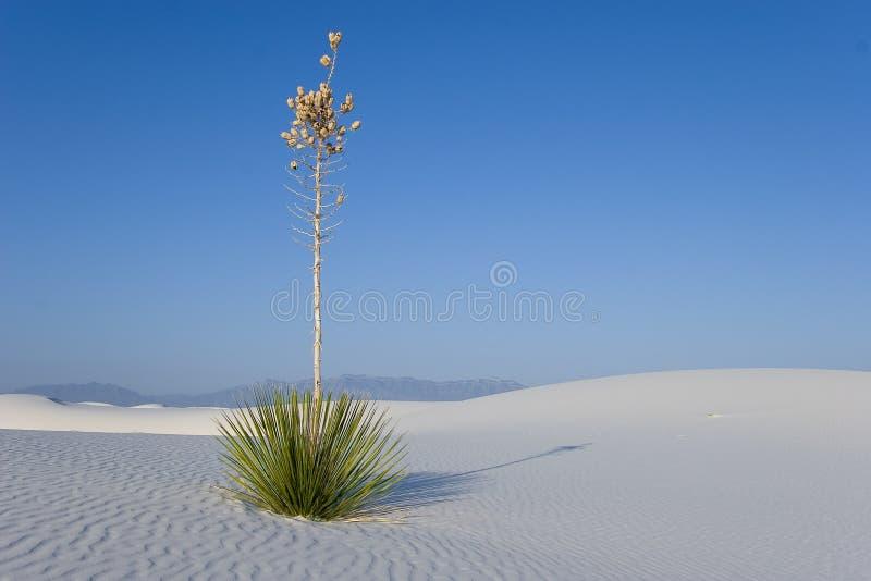 Weiße Sande - einsamer Yucca stockfotografie