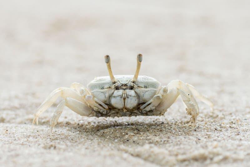 Weiße Sandkraut lizenzfreies stockbild