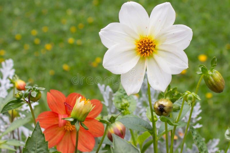 Weiße schöne Dahlienblume auf natürlichem Hintergrund stockbild