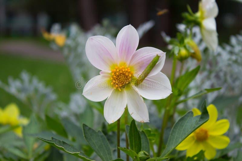 Weiße schöne Dahlienblume mit grünem Gleiskettenfahrzeug auf natürlichem lizenzfreies stockfoto