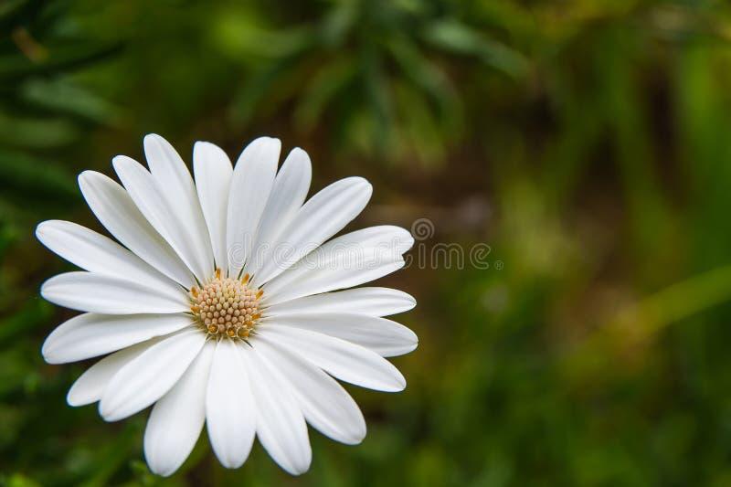 Weiße Schönheit stockfoto