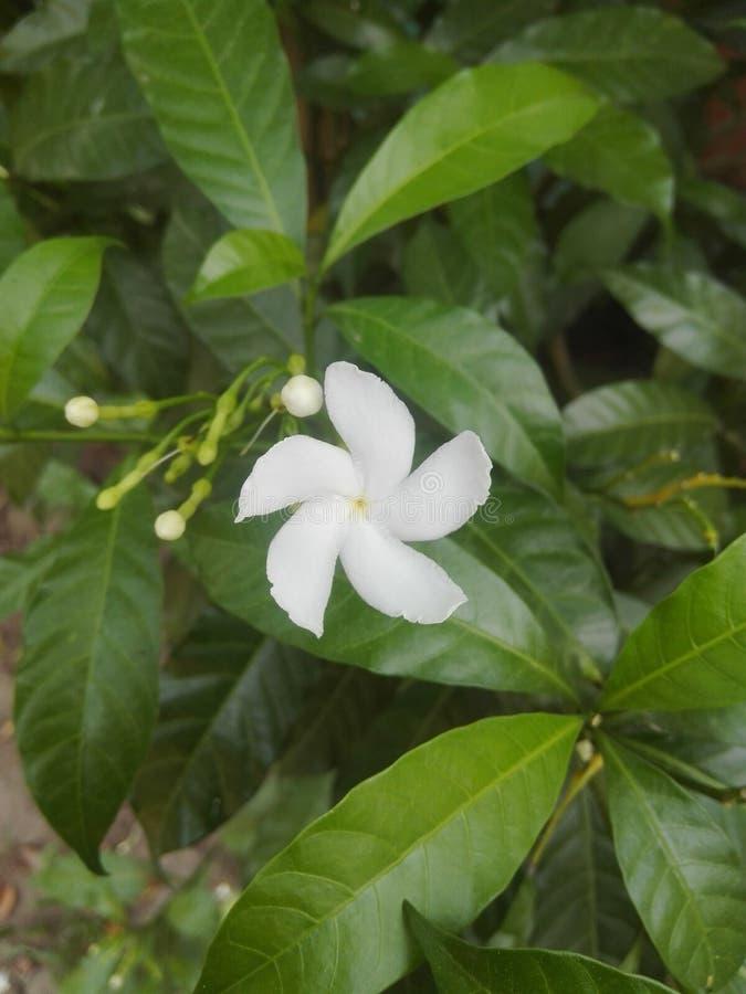 Weiße Schönheit jesmin Blume mit Grünblättern u. den kleinen Knospen stockfoto