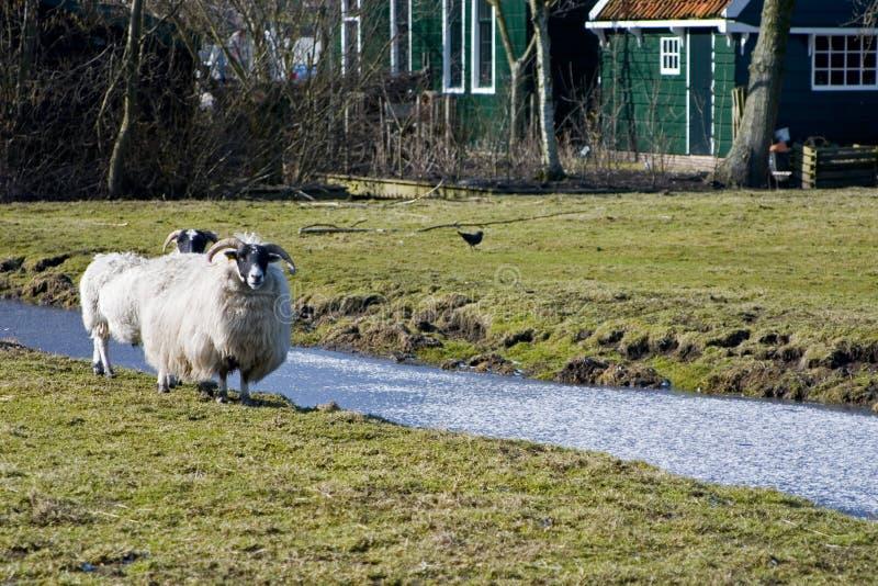 Weiße Schafe lizenzfreie stockbilder