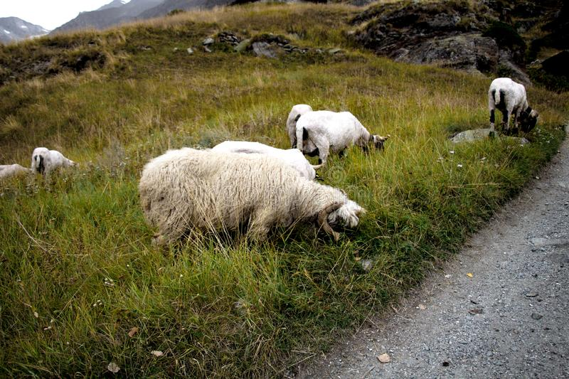 Weiße Schafe auf einem Gebiet eines Berges stockbild