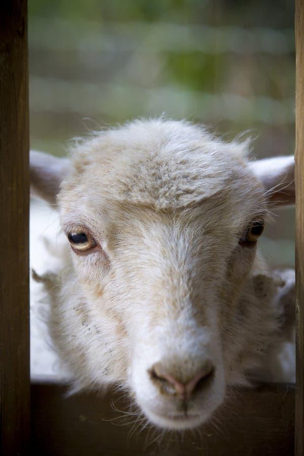Weiße Schafe, die entlang der Kamera anstarren lizenzfreies stockfoto