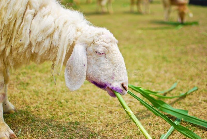 Weiße Schafe, die Gras im Bauernhof essen stockfotos