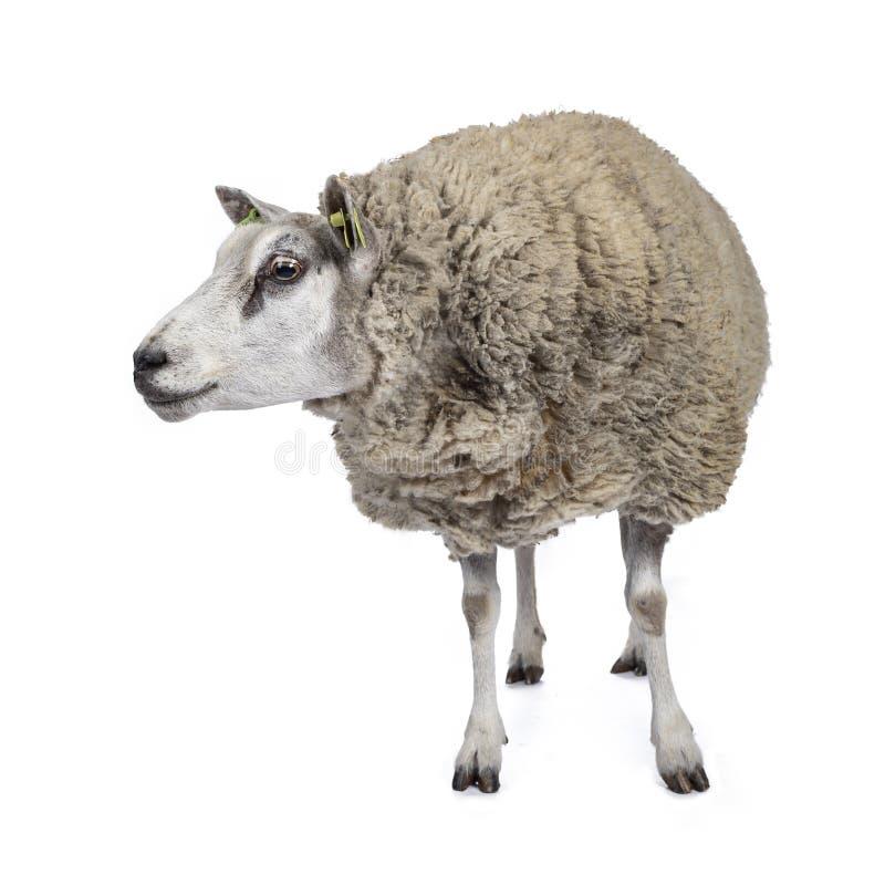 Weiße Schafe mit weißem Hintergrund stockbilder