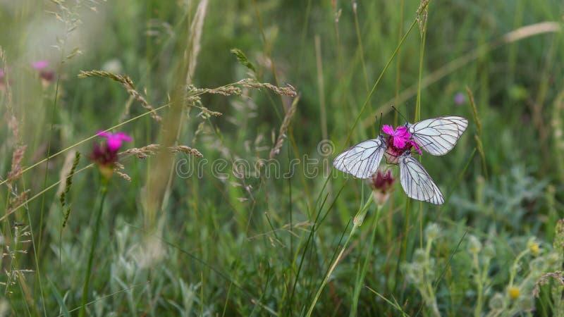 Weiße Schmetterlinge der Nahaufnahme auf purpurroter Gartennelkenblume stockbilder