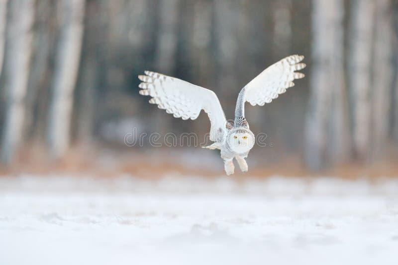 Weiße Schnee-Eulen-Fliege Schöne Fliege der Schneeeule Schneeeule, Nyctea-scandiaca, Fliegen des seltenen Vogels auf dem Himmel W lizenzfreie stockfotografie
