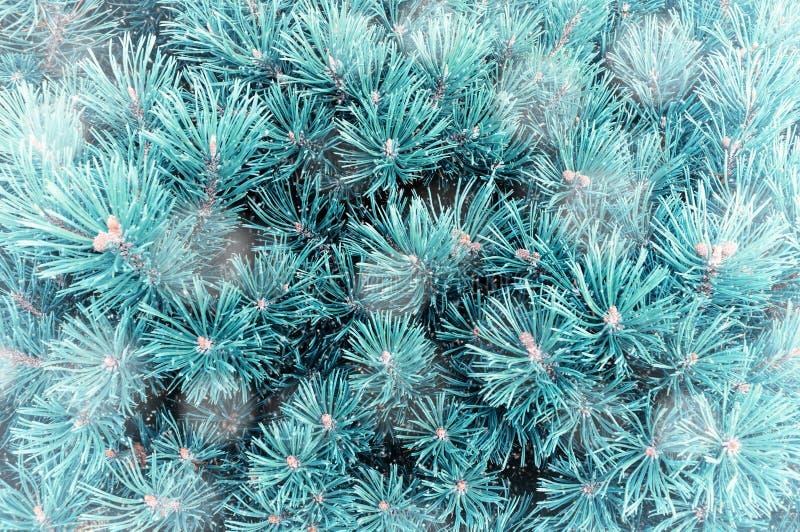 Weiße Schneeflocken auf einem blauen Hintergrund Kieferniederlassungen unter Winterschneefällen lizenzfreies stockbild