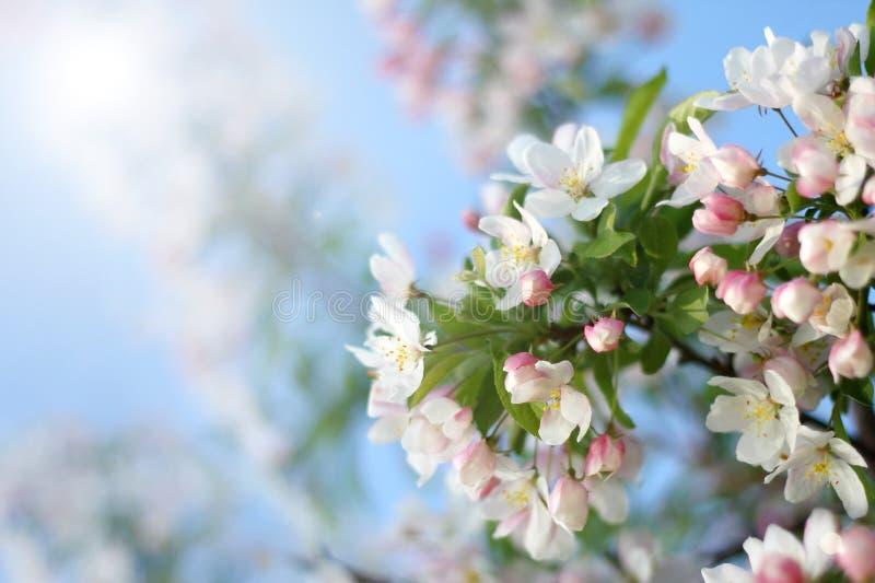 Weiße Schneewehe Crabapple-Baum-Blumen-Blüten Stockbild - Bild von ...