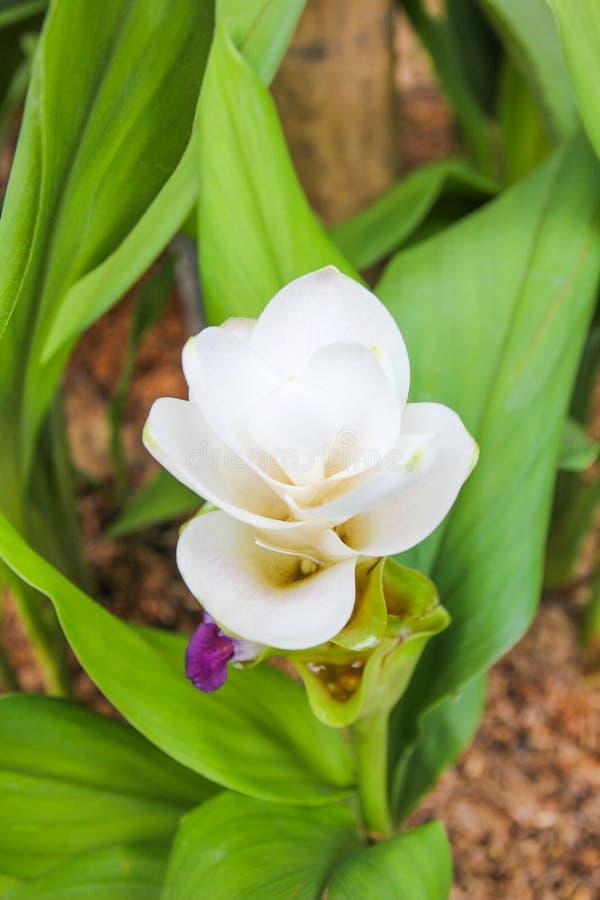 Weiße Siam-Tulpe-Blume stockbild