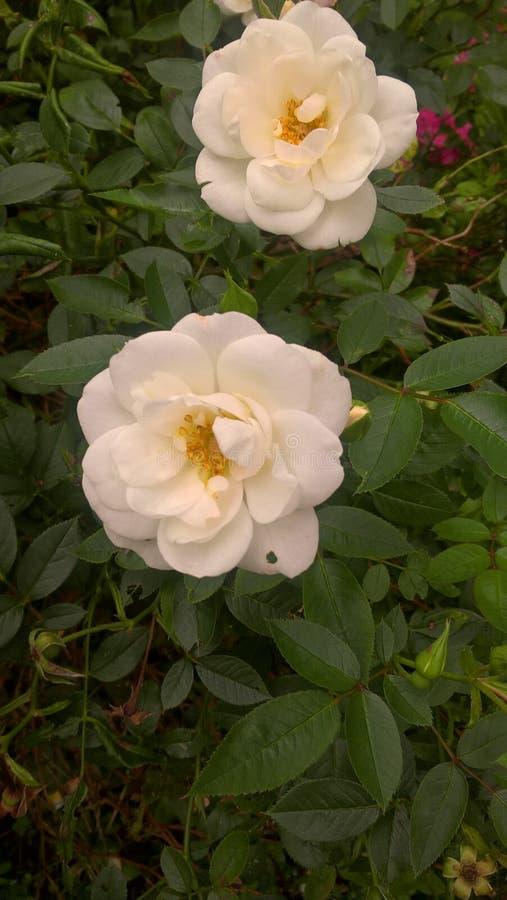 Weiße Sommerblumen lizenzfreies stockbild