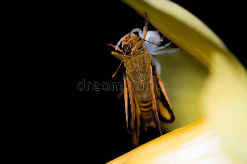 Weiße Spinne und Motte stockbild. Bild von nahaufnahme - 51694715