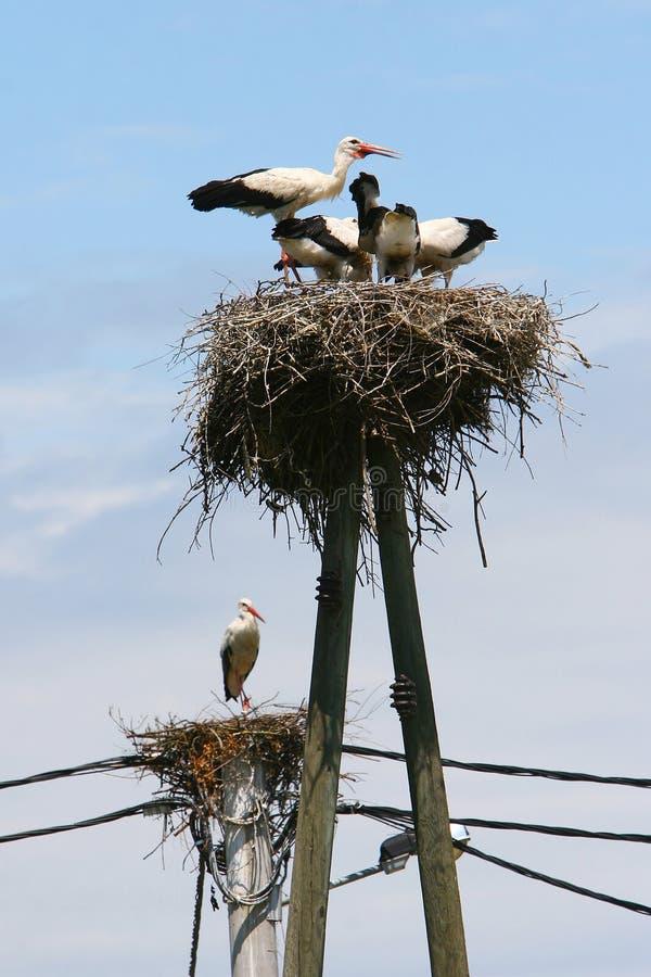 Weiße Störche in den Nestern stockfotos
