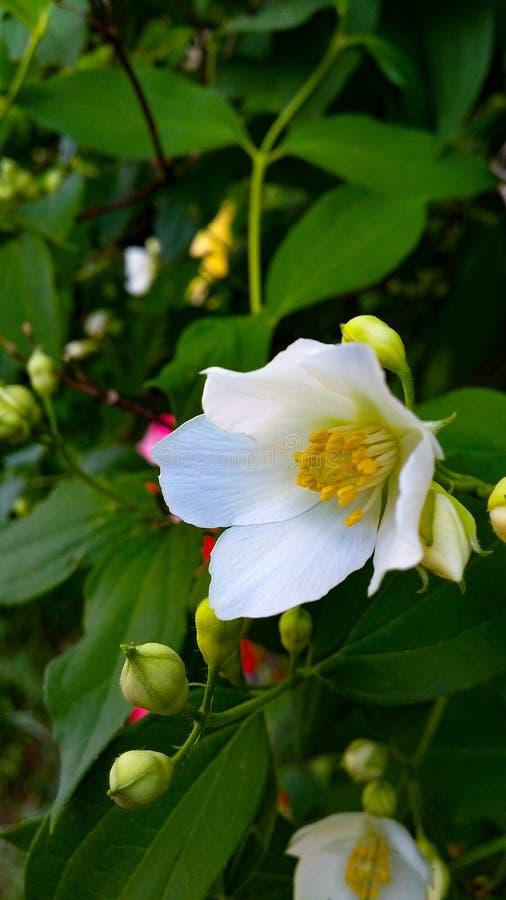 Weiße Stadtblume lizenzfreie stockbilder