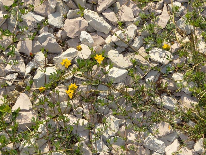 Weiße Steine Und Gelbe Blumen Stockbild - Bild von beige, betriebe ...