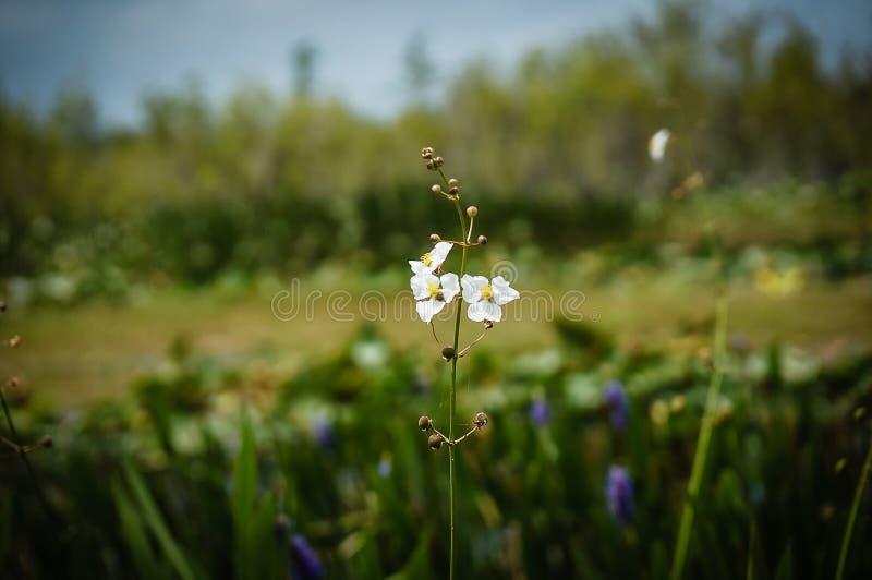 Weiße Sumpfblumen im Sumpf lizenzfreie stockbilder