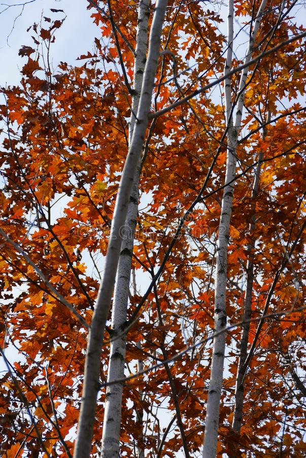 Weiße Suppengrün voll von den roten und orange Blättern im Herbst nahe Hinckley Minnesota stockbild