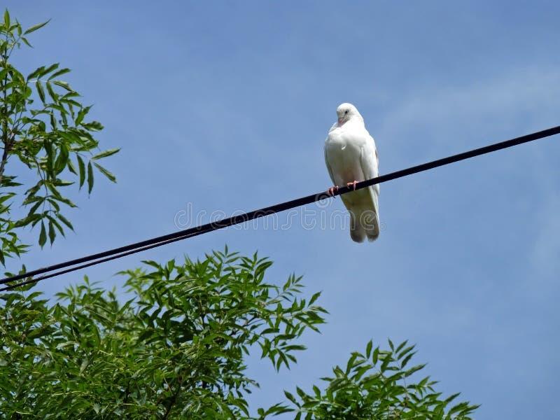 Weiße Taube gehockt auf Kabel stockfoto