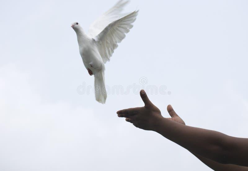 weiße Taube tauchte Fliegen in den ausgedehnten Flügeln der Himmelfreiheit Hoffnung lizenzfreies stockfoto