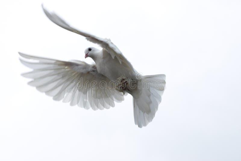 weiße Taube tauchte Fliegen in den ausgedehnten Flügeln der Himmelfreiheit Hoffnung stockbilder