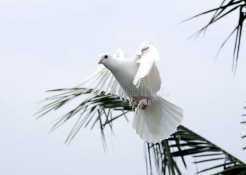weiße Taube tauchte Fliegen in der schönen Flügelposition des Himmels stockfotografie