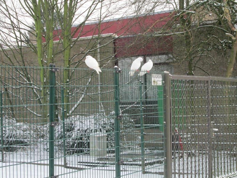 Weiße Tauben auf einem Zaun mit Schnee in einem weißen Wintermärchenland in nieuwerkerk aan Höhle IJssel, die Niederlande lizenzfreie stockfotos