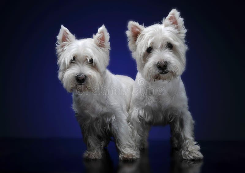 Weiße Terrier des Westhochlands bleiben zusammen lizenzfreies stockfoto