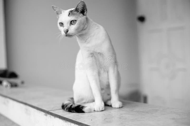 Weiße thailändische Katze suchte nach etwas, schwarzer weißer Bildart amerikanischen Nationalstandards lizenzfreie stockbilder