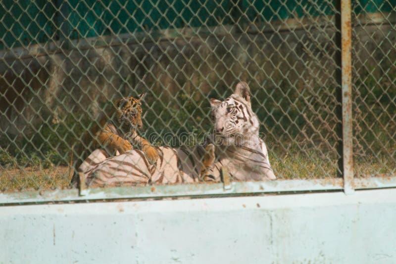 Weiße Tigerin mit gelben jungen Jungen in einem Zoo in Indien stockfotos