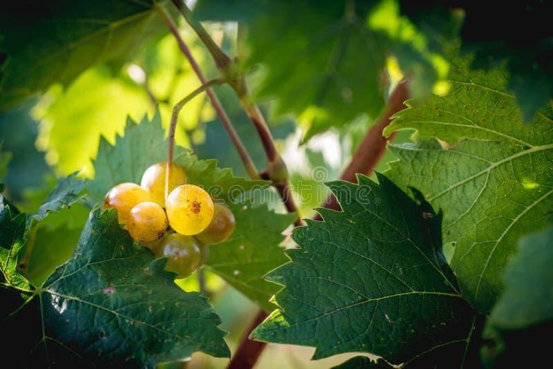 Weiße Trauben des Weinbergs, die in der späten erntenden Jahreszeit hängen stockfoto
