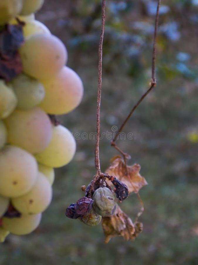 Weiße Trauben im Herbst Neuer Weinberg lizenzfreie stockfotografie