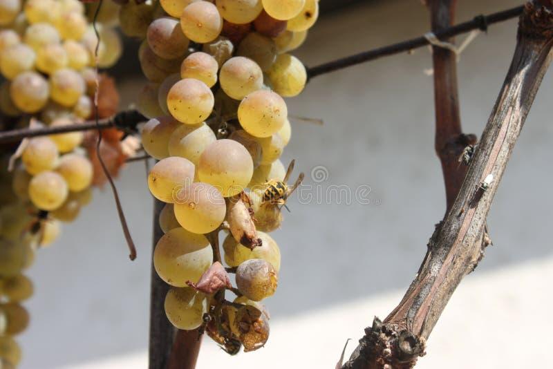 Weiße Trauben mit Biene stockfotos