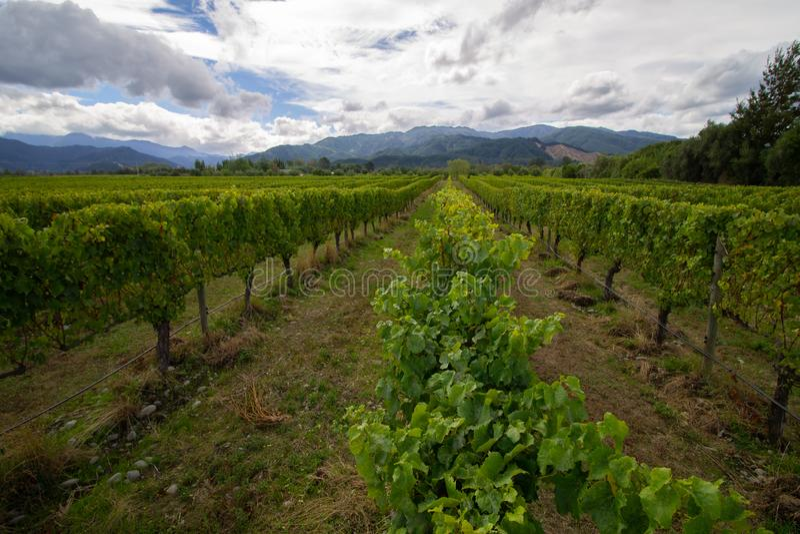 Weiße Trauben Sauvignon Blanc auf einem winefarm in Neuseeland Marlborough stockfotos