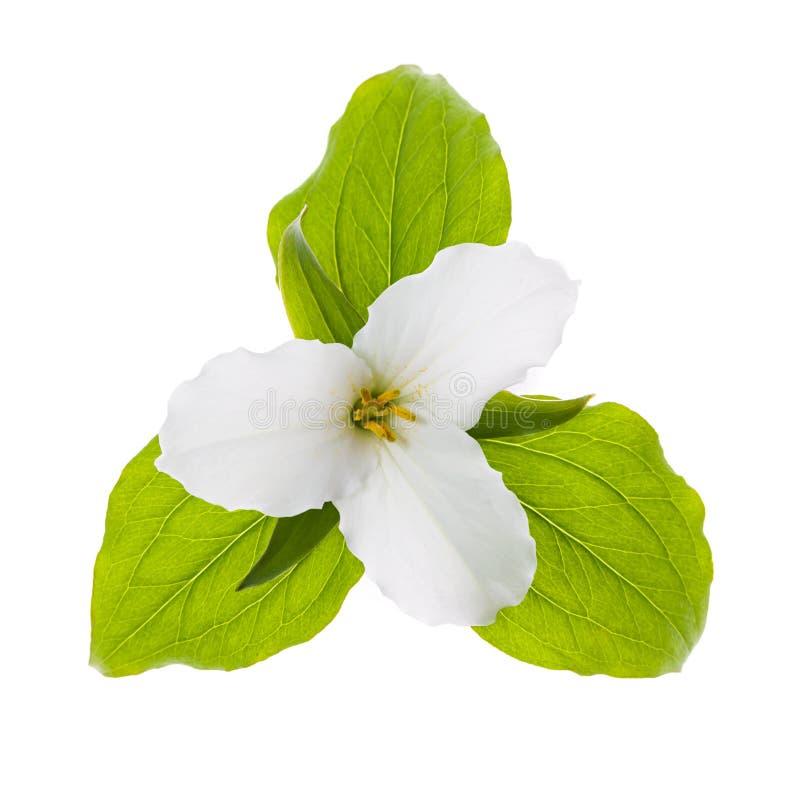 Weiße Trilliumblume lokalisiert stockfoto