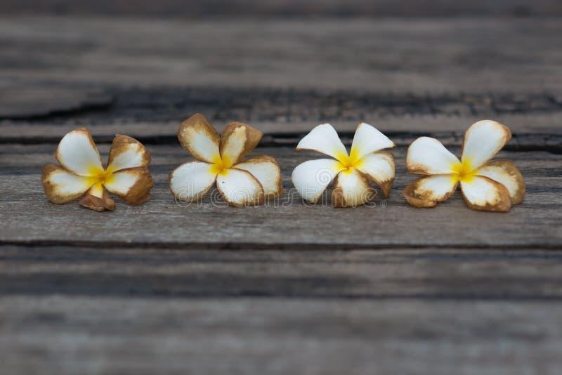 Weiße tropische Blume auf dem alten hölzernen Hintergrund des Schmutzes lizenzfreies stockbild