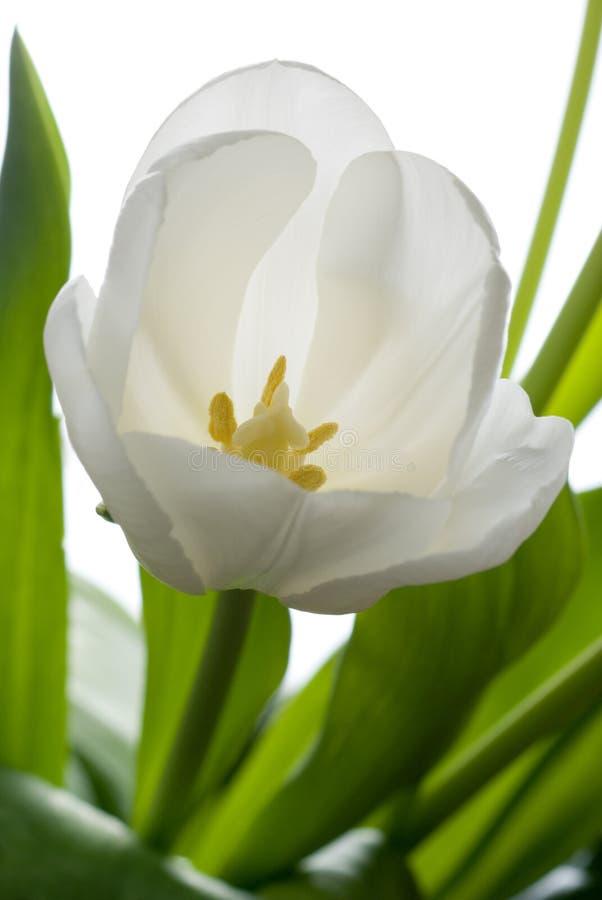 Weiße Tulpe. lizenzfreie stockfotos