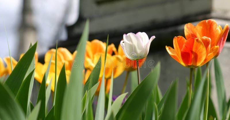 Weiße Tulpe stockfotografie