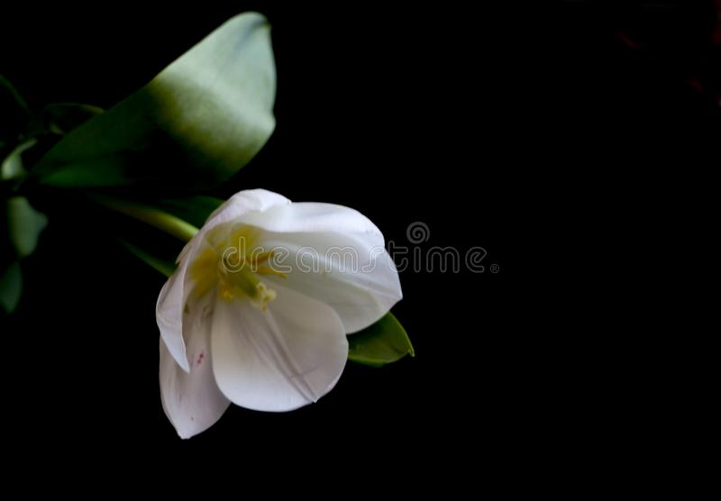 Weiße Tulpe auf einem schwarzen Hintergrund eine empfindliche Tulpenblume mit den weißen Blumenblättern und den hellgrünen Blätte lizenzfreie stockfotos